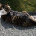 大きい猫の種類4つ その性格と魅力
