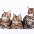 ジェネッタとは?かなりレアな猫種です!知りたい人は要チェック☆