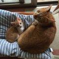 茶トラの「ふく」と「りく」ふたりは仲良し!