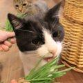 ガツガツ!!猫草大好きな猫さんたち!