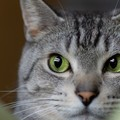 じーっと見つめないで…猫が視線をそらすときの心理2つ