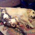 「げ!ばれた!」寝ている犬のお腹を枕にしていた猫、バレた瞬間の顔…