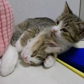 「寝るニャーーー!」爆睡子猫を必死に起こそうとする子猫♪