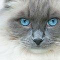 青い目の猫の種類とは?綺麗なブルーの瞳になる理由