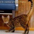 ハバリってどんな猫?特徴や性格、飼い方まで