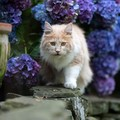 猫は『アジサイ』で死に至る?!実は、猫にとっては超猛毒だった!