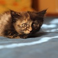サビ猫の子猫の性格や特徴、里親でお迎えする方法