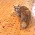 アイドル猫ベルちゃんが教える、ネコちゃんのためのバルーン活用法