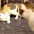 やんちゃ盛りの子猫!大人の猫とケンカ?