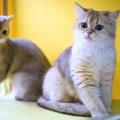 バーミラって何?日本ではとても珍しい猫種について知ろう!