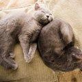 ロシアンブルーのキャッテリーを選ぶ時のポイント、おすすめ猫舎