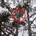 ビル7階の高さで動けない猫を助けて!杉の木で立ち往生