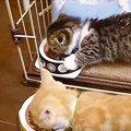 2匹並んで大急ぎ!ご飯を食べる時のクセがある子猫たち