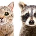 アライグマと猫の関係!仲良しなの?それとも天敵?