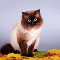 ポインテッド柄の猫の秘密とそのバリエーション