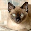 トンキニーズはシャム猫の黒バージョン!?その特徴などについて