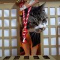 神社に居つかない猫神様?自分で扉を開けて出てくる猫ちゃん