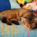 ソマリは病み付き猫種!?その魅力や性格に迫る!