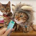 たてがみがかっこいい!ライオンの被り物が似合うベンガル猫さん♡