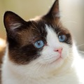 スノーシューは白い靴を履いた猫!知って鼻高レア品種のヒミツ