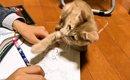 遊んでほしいニャ!お絵かきをするお兄ちゃんの邪魔をする子猫
