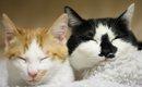 猫のオスメスの見分け方を知ろう!性別ごとの特徴や子猫・成猫での判…