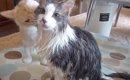 モフモフ猫さんの入浴!被毛に隠されたスリムなボディが現れるビフォ…