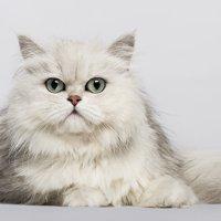 ペルシャ猫の情報