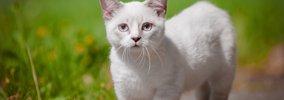 大きくならない猫の種類とは?おすすめの小型種5選