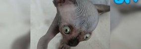 手間はかかっても喜びも大きい!「水頭症」の子猫と里親さんのお話