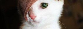 4つの耳を持つ子猫『リトル・フランキー』