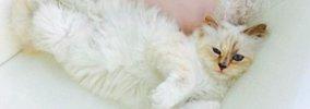 カール・ラガーフェルド氏が溺愛するセレブ猫「シュペット」とは