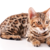 ベンガル猫の飼い方 4つの項目別ポイント