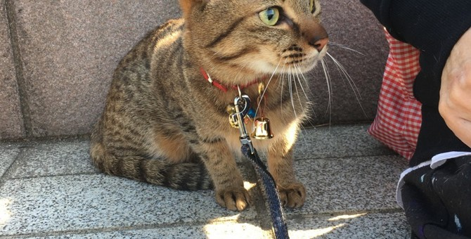 災害の時に意外と必要!猫にリードを慣らすにはどうしたらいい?