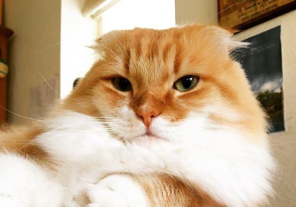 スコティッシュフォールドの成猫は飼いやすい?性格や特徴から長所・短所を解説