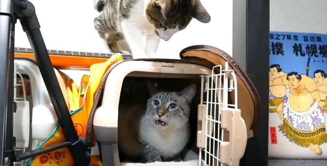 猫ちゃんが連続でフレーメン反応をするその理由とは?