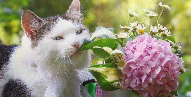 最悪死亡する事も…猫に紫陽花(アジサイ)は危険な花!食べてしまった時の症状や対処法
