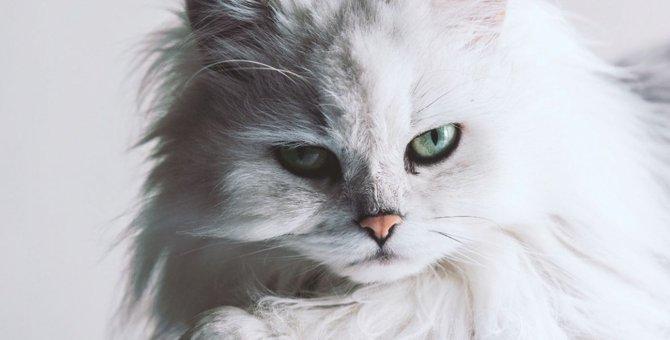 ペルシャ猫の値段はいくら?平均価格や個体差による違いとは