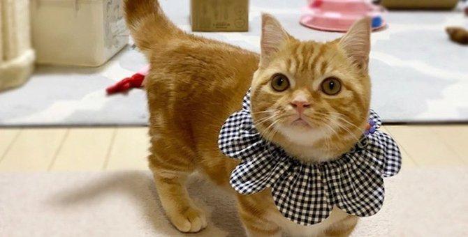 洋服嫌いな猫にもオシャレしてもらいたい!オススメ「映え」グッズ3種