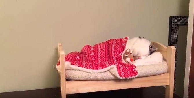 まるで人間みたい♡小さなベッドで眠る猫さんにキュンキュン!