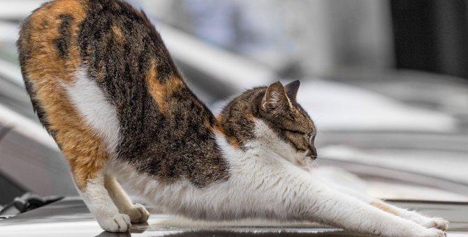 猫の尻尾の付け根を撫でるとお尻をあげる3つの理由