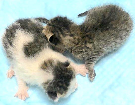 妊娠した猫の緊急保護が立て続けに2件!春は子猫ラッシュ