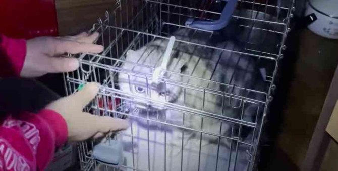 飼い主が服役中で残された猫たち…2匹のアメショを救え!No.1