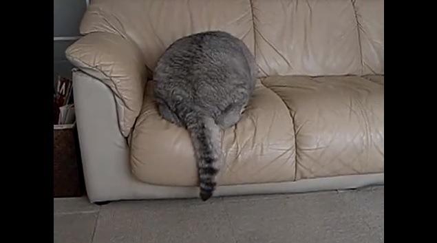 「けっこう身軽でしょ?」ソファーに飛び乗るビッグな猫さん!