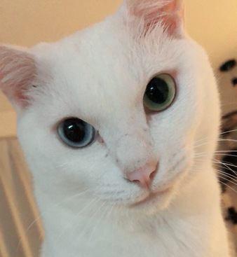 幸運を招く猫『オッドアイ』を飼う前に知っておきたい3つのこと