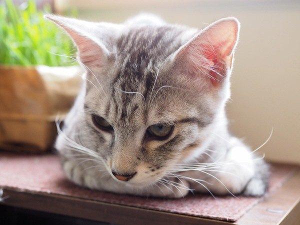 猫のヒゲが垂れ下がっている時の心理5つ