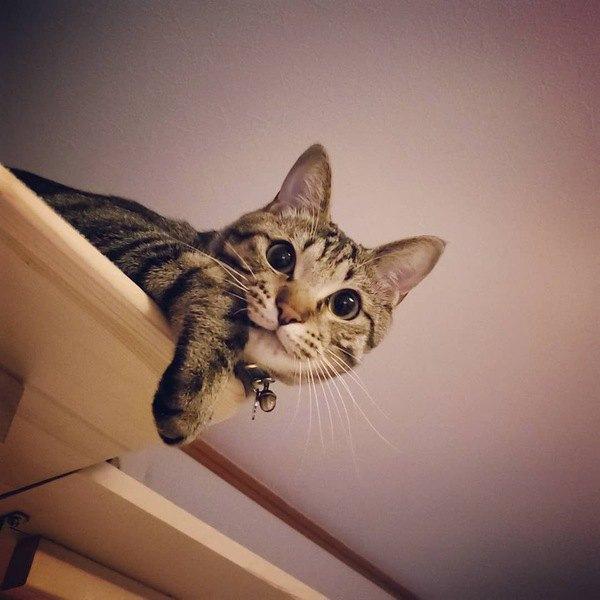 猫ってどのくらいの高さまで登れるの?