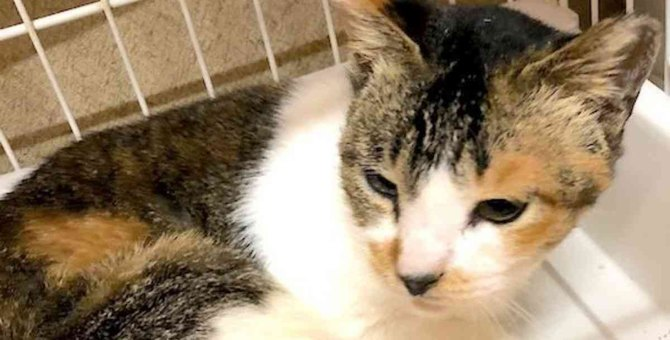 外猫の保護依頼に驚きの展開…懸命に生きる三毛猫の運命は?