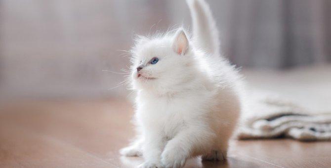 白猫とアルビノの猫との違いと見分け方、飼う時の注意点