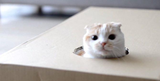 平たいダンボール箱でも入って遊んじゃう猫さん!